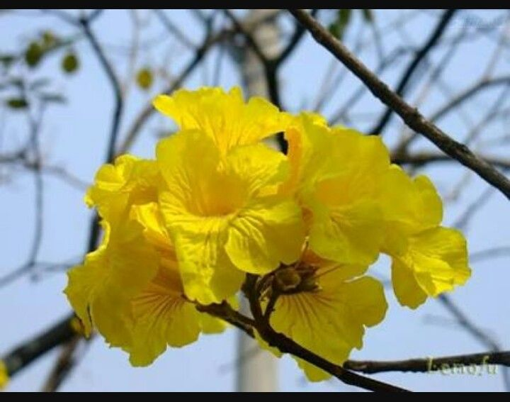 Flor do Ipê amarelo- flor símbolo do  Brasil.
