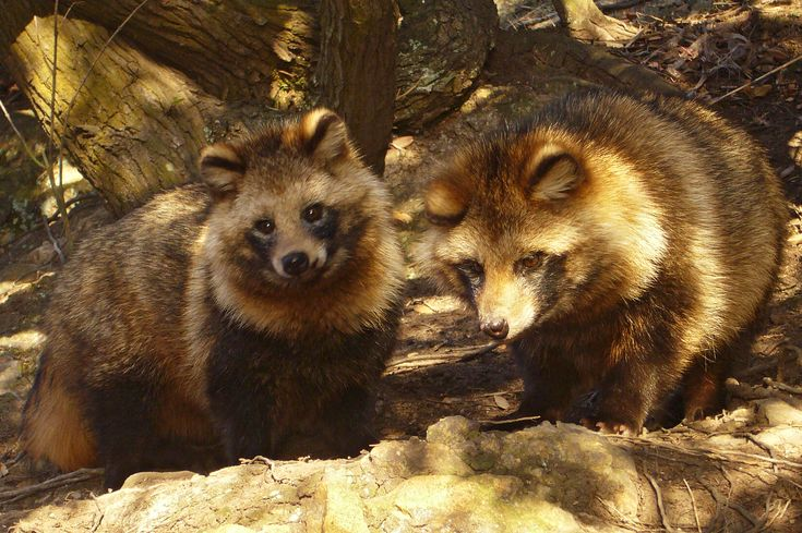 """Wikipedia: """"The raccoon dog [...], also known as the magnut or tanuki, is a canid indigenous to East Asia. It is the only extant species in the genus Nyctereutes. It is considered a basal canid species, resembling ancestral forms of the family. Among the Canidae, the raccoon dog shares the habit of regularly climbing trees only with the North American gray fox, another basal species. The raccoon dog is named for its resemblance to the raccoon (Procyon lotor), to which it is not closely…"""