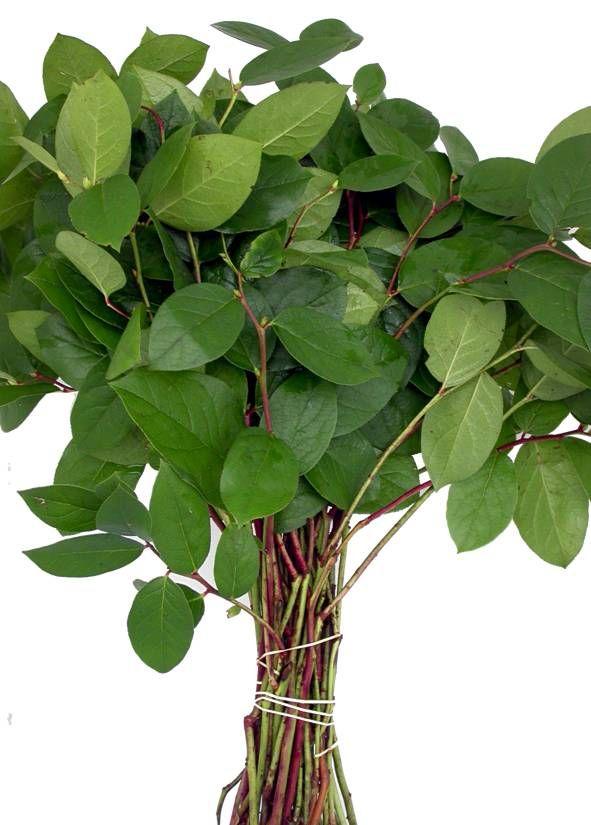 salal plant for filler foliage