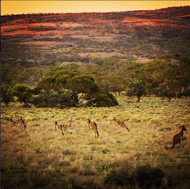 Kangaroos Gawler Ranges, Eyre Peninsular, South Australia     #Australia  SwannySA (instagram)