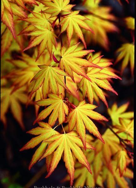 Acer palmatum 'Orange Dream'- lovely- on the small side