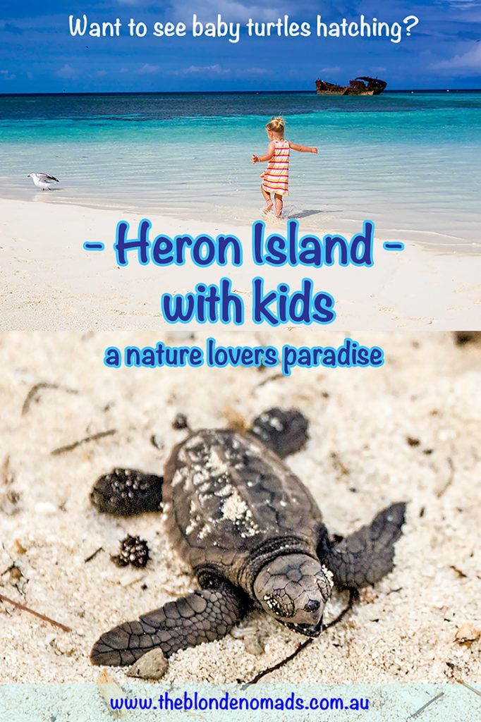 Baby Turtles Bliss on Heron Island with The Blonde Nomads