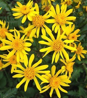 """NATIVE. Senecio aureus - Golden Ragwort. Golden daisies over shiny green, toothed basal leaves in May. Strong bloom even in the shade. A strong groundcover where happy and an excellent cut flower. Self seeds and naturalizes. Height: 12"""", Spread: 10-12"""". Shade to Part Sun."""