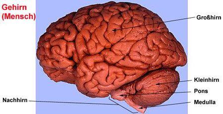 Gehirn, Aufbau und Funktion; Biologiekurs Klasse 12