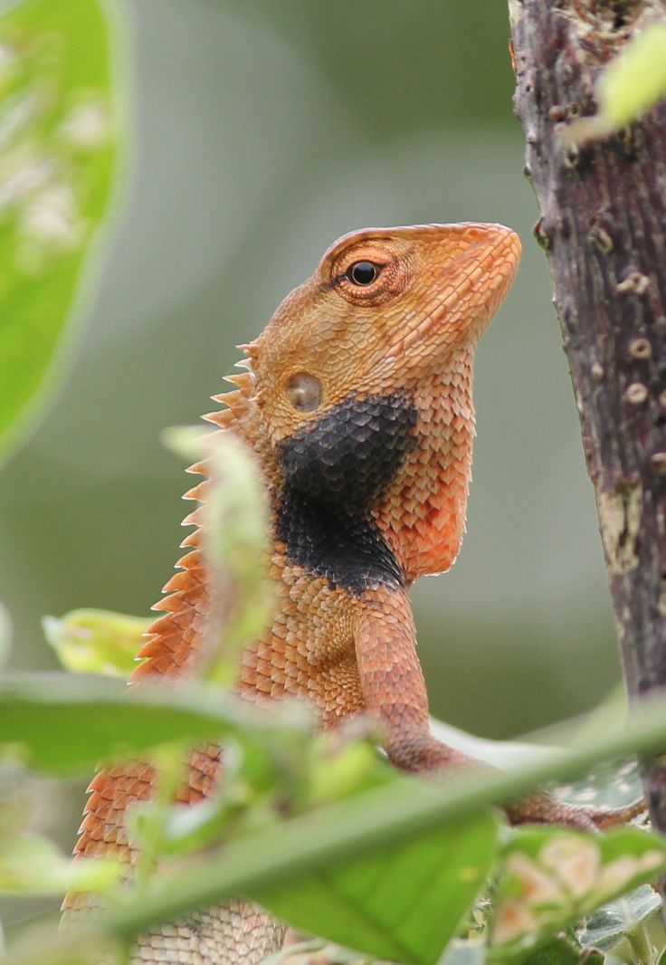 The oriental garden lizard (Calotes versicolor) can change colour slowly depending on the situation! This is a male and he is on the look out for a lady...which we can tell by him being a quite bright orange with a black patch on his neck! #lizard #wildlife #nature #orientalgardenlizard #travel #adventure #jungle #greenhill #greenhillguesthouse #biodiversity #sumatra