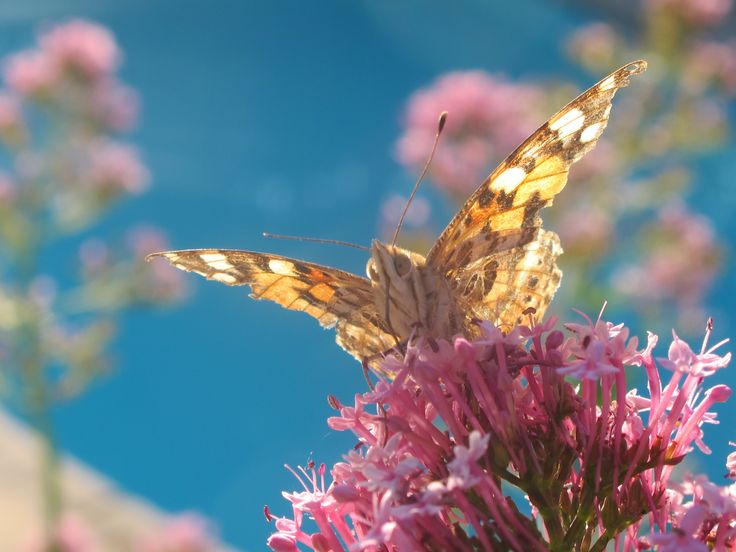 Papillon dans le soleil couchant dans la garrigue #nimes #languedoc #france