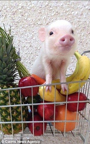 adorable mini-pig, shopping for healthy food