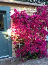 trellis on house for bougainvillea - Google Search