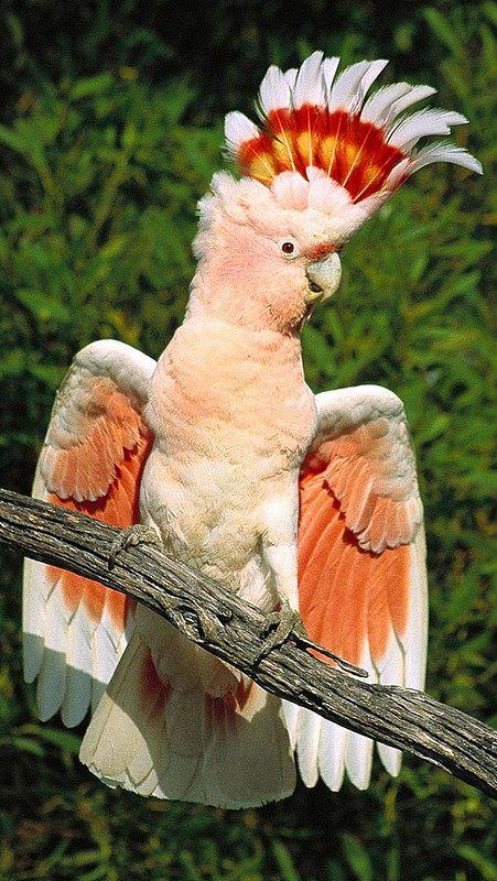 Llamativa cacatúa http://www.animalesomnivoros.es/aves-omnivoras/