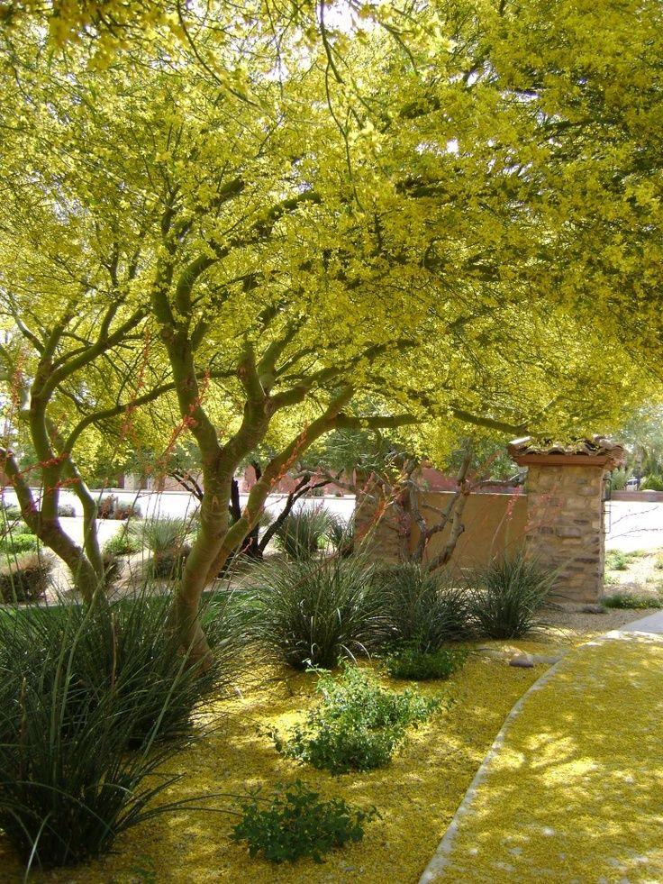 Beautiful Drought Tolerant Palo Verde Tree Garden