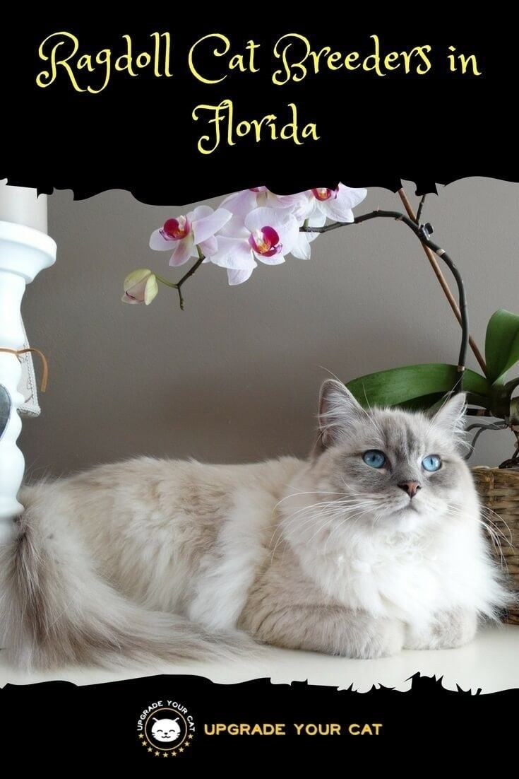 Ragdoll Cat Breeders In Florida With Images Cat Breeder Ragdoll Cat Breeders Ragdoll Cat