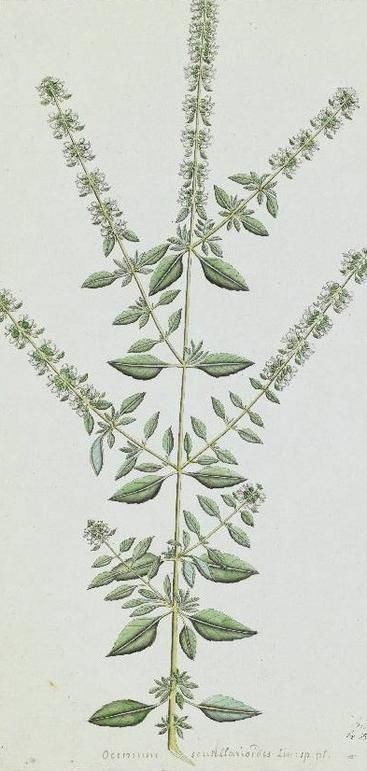Ocimum tenuiflorum, watercolour on paper, by an unknown Indian artist, commissioned by William Roxburgh, Kolkata, India, early 19th century. (Image: RBG Kew)