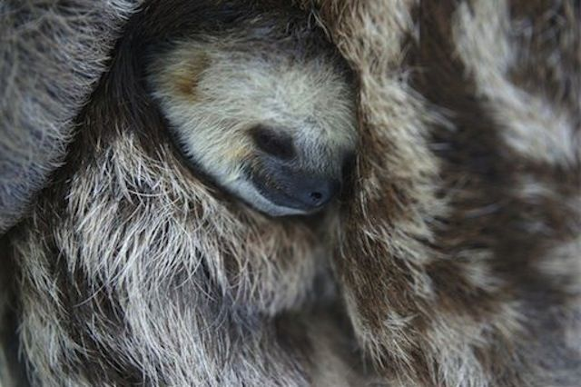 Rescue Worker Takes in 190 Cuddly Sloths