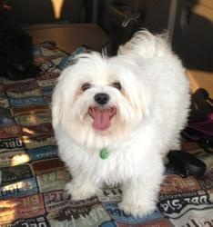 Wink is an adoptable Maltese Dog in Garland, TX. Wink is a two year old (born in early 2011 probably), 6 pound, going on 60 pound Maltese going on Mastiff. Not to be mistaken, he is a complete joy! Wi...