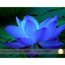 The rarest blue lotus flower seeds, Nelumbo Nucifera hybrid strong fragrant garden bonsai flower, all seasons planting available(China (Mainland))