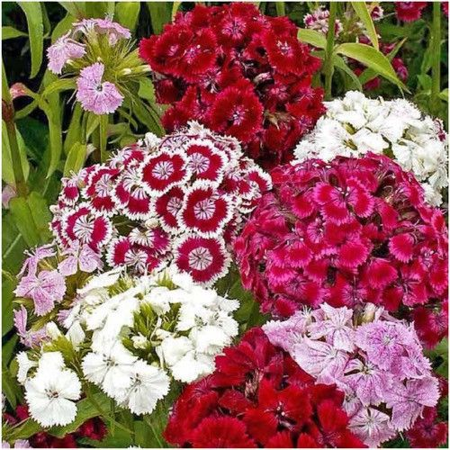 Sweet William Wildflower Seeds (Dianthus barbatus)
