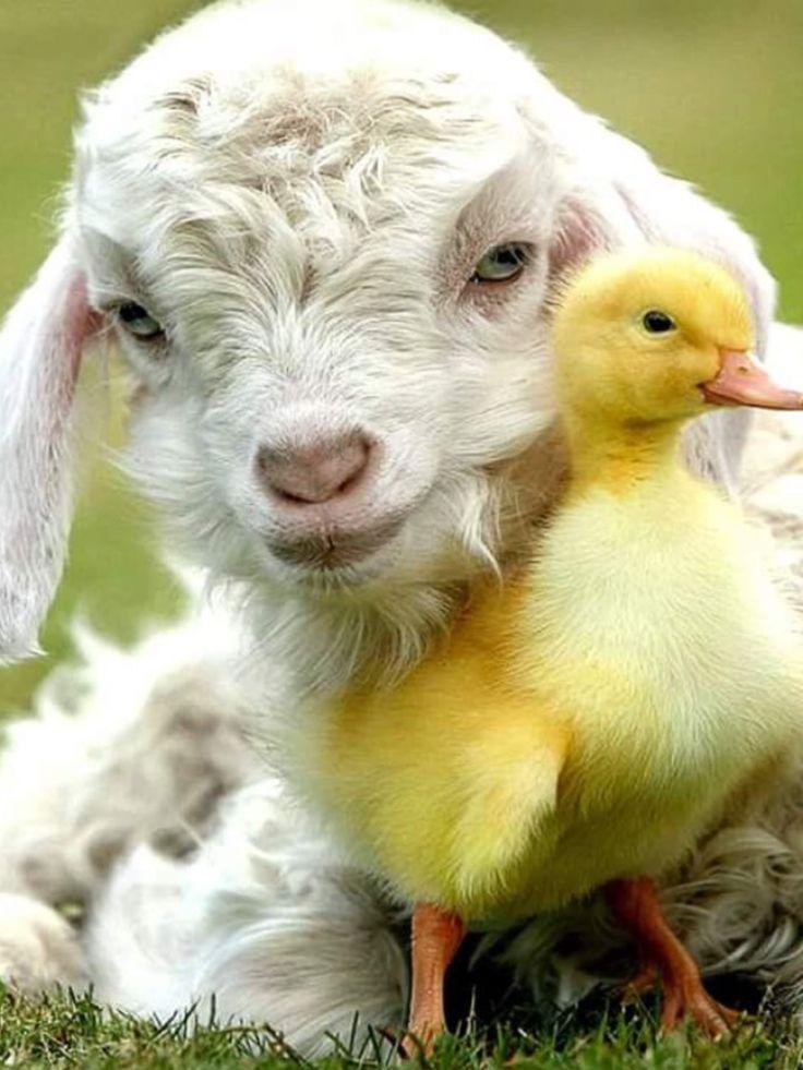 457 best Wonderful Animals images on Pinterest   Animales, Lamb and Nature