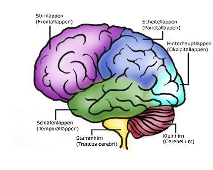 Gehirn - Aufbau und Funktionen - NetDoktor.de