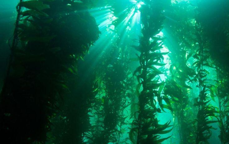 Kelp Forest | Oceana