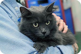 St. Louis, MO - Domestic Mediumhair. Meet Autumn, a cat for adoption. http://www.adoptapet.com/pet/12286234-st-louis-missouri-cat