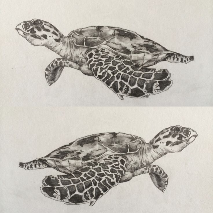 A5 hawksbill turtle drawing in pencil