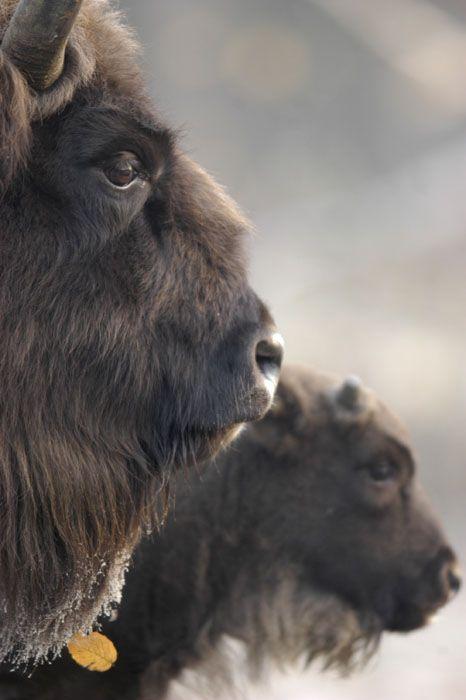 Wild Bison intrigue me. I loved watching them roam wild when I was in the Dakotas.