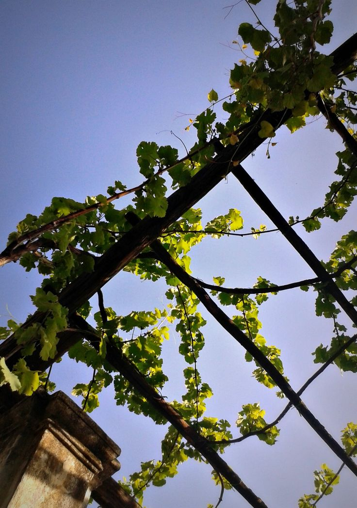 {Vite d'uva - Giardini della Minerva (Sa, Italy)