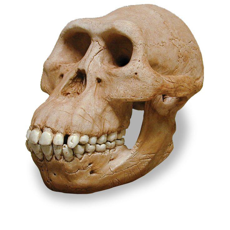 La capacidad del cráneo del austrolopithecus anamensis tenía mas o menos 500cm3. Es similar al de los simios. Sus muelas poseían gruesos esmaltes, por lo que se deduce que comía alimentos más duros.
