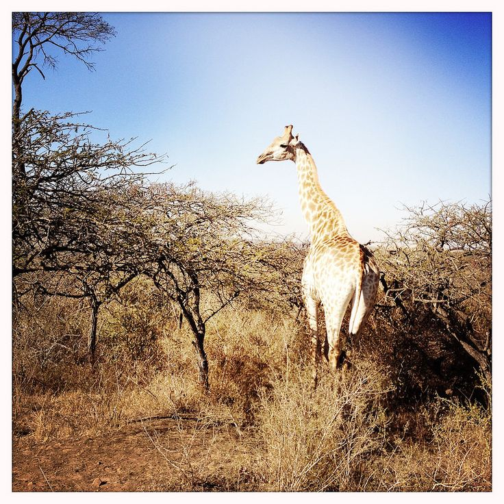 Giraffe, Tala Game Reserve, Pietermaritzburg, South Africa, June 2014