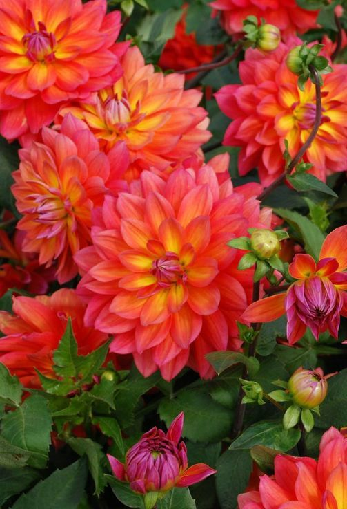 "~~Dahlia 'Fire Pot' |  decorative dahlia - the flowers are in a hot blend of pink and orange, with a touch of yellow at the center. Very floriferous, 6"" blooms, 3 ft tall 