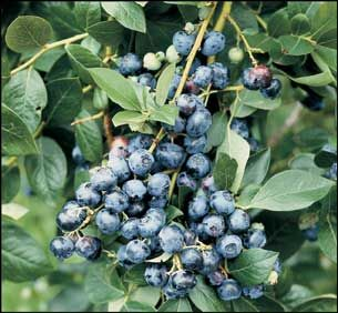 Indiana Berry & Plant Company: The Superb Horticulture Group of Companies  blueberries for midwest