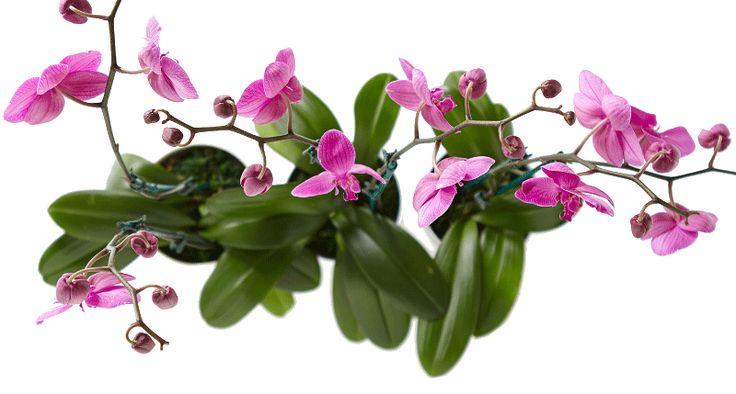 Como Plantar Orquideas !CLICK NA IMAGEM E APRENDA - PASSO A PASSO ! #flores…