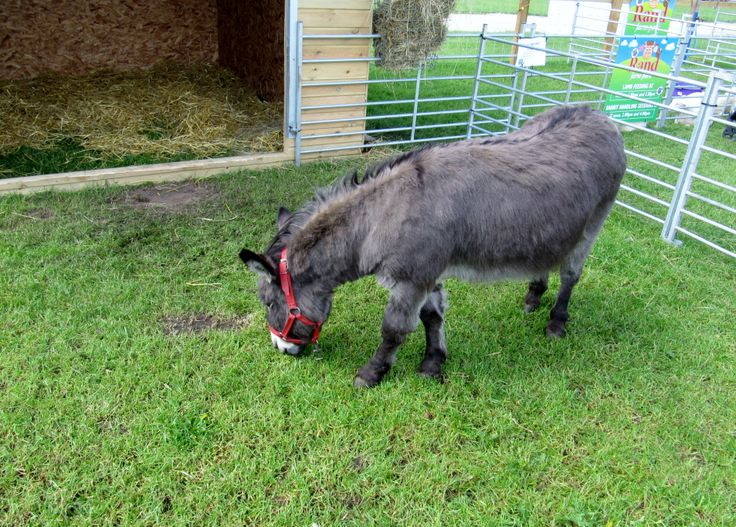 A donkey at the Notts County Show.