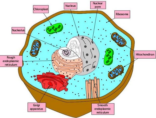 mitochondria and cytoplasm relationship