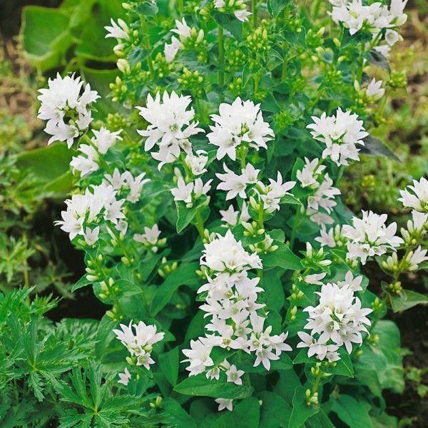 Pflanzen-Kölle Knäuel-Glockenblume 'Alba' weiß, 11 cm Topf.  Hohe Glockenblumen-Art, die mit reinweißen Blüten und aufrechtem Wuchs überzeugt. Ein Traum für Staudenbeete oder als Schnittblume.