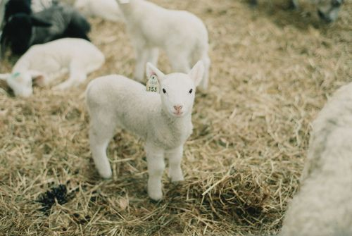 :)Animal Baby, Baby Lamb, Lambs, Baby Animal, Baby Sheep, Flickr Awwww, God Creatures, Baby Goats, Country