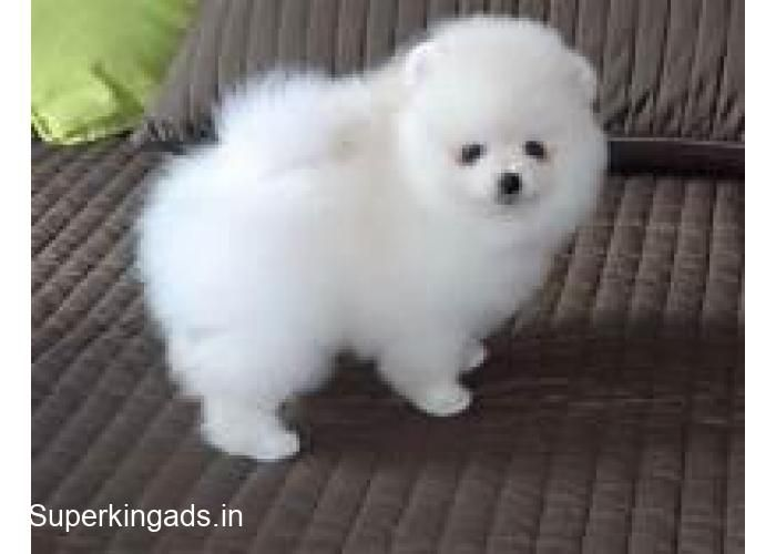 Cute Puppies For Sale Pups Details Pomeranian Puppies Very
