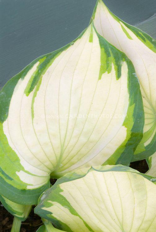 Hosta Eskimo Pie, shade foliage perennial plant variegated leaves with white white center