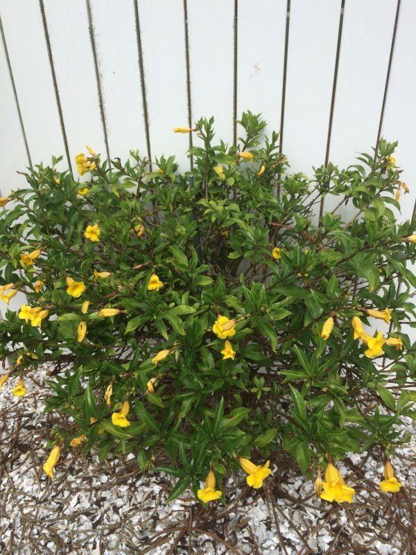 Bush Allamanda Allamanda Schottii Your Yellow Tubular Flower May