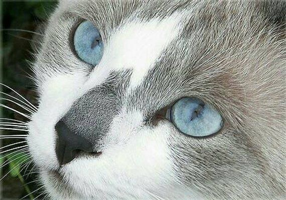 Blue Eyed Gray And White Cat Cross Stitch Pattern Cross Stitch Pattern Cat Cross Stitch Gray And Grey And White Cat Cat With Blue Eyes Russian Blue Cat