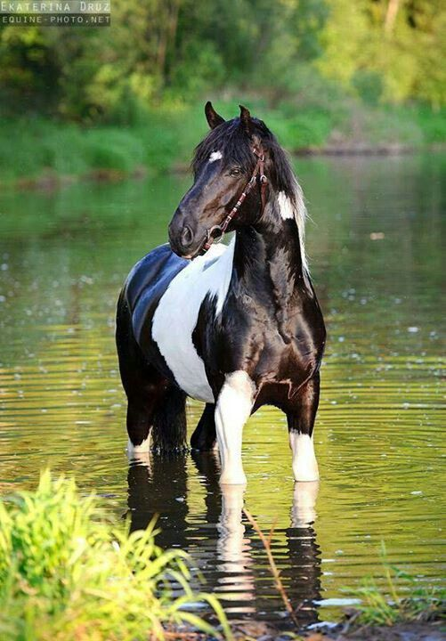 Black and white paint horse | Beautiful Equines ...