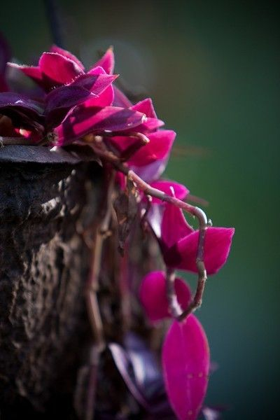 39 best images about tradescantia on pinterest buy plants eugene o 39 neill and oregon - Wandering jew care ...