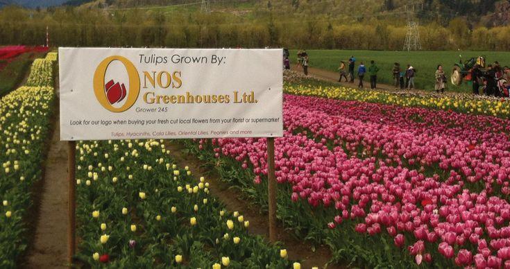 Tulips of the Valley - Tulip Festival/Chilliwack Tulip Festival #exploreBC #shareChilliwack #exploreBCgardens #tulipfestival #exploreCanada #gardentourism #gardensBC