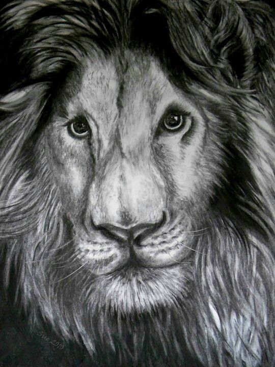 Lion, charcoal on 300gsm paper. Drawn by Susan Brett.