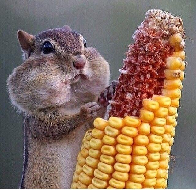 Chipmunk eating mealies adorable