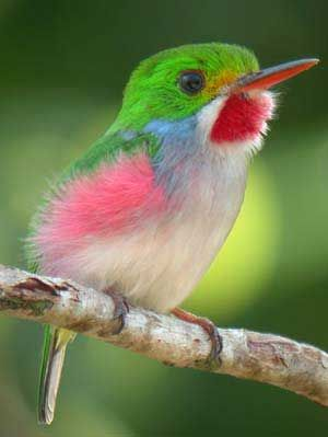 Cuban Tody (Todus multicolor) - Cuban is a year-round resident of portions