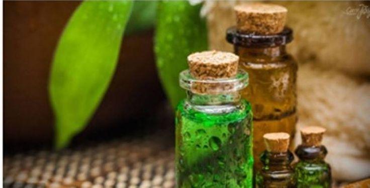 Чайное дерево, или Мелалеука, ценится за антисептическое действие и лечебные заживляющие свойства.