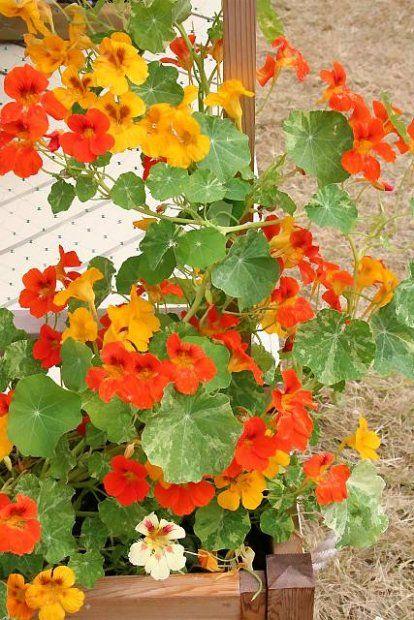 NASTURCJA(Tropaeolum majus) tworzy kwiaty w ognistych barwach. Pędy u odmian karłowych mają długość 30-50 cm, u pnących dorastają do 3 m. Siew: wprost do skrzynek w kwietniu lub w maju.