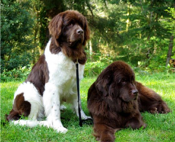 Newfoundland. We used to have a black one, but I really like the Brown & white