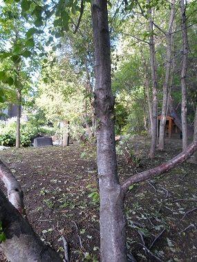Betula nigra – River Birch Zone 3; 40-70 high, 40-50 wide My Photo